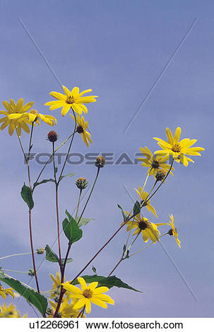 Stock Photography of Dicotyledoneae, flower, plants, plant.