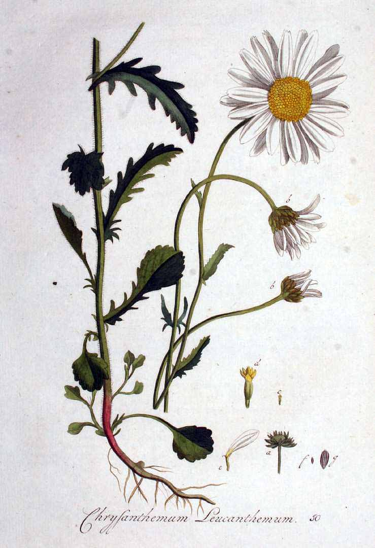 Botanical Accuracy: Is oxeye daisy a Leucanthemum or a Chrysanthemum?.