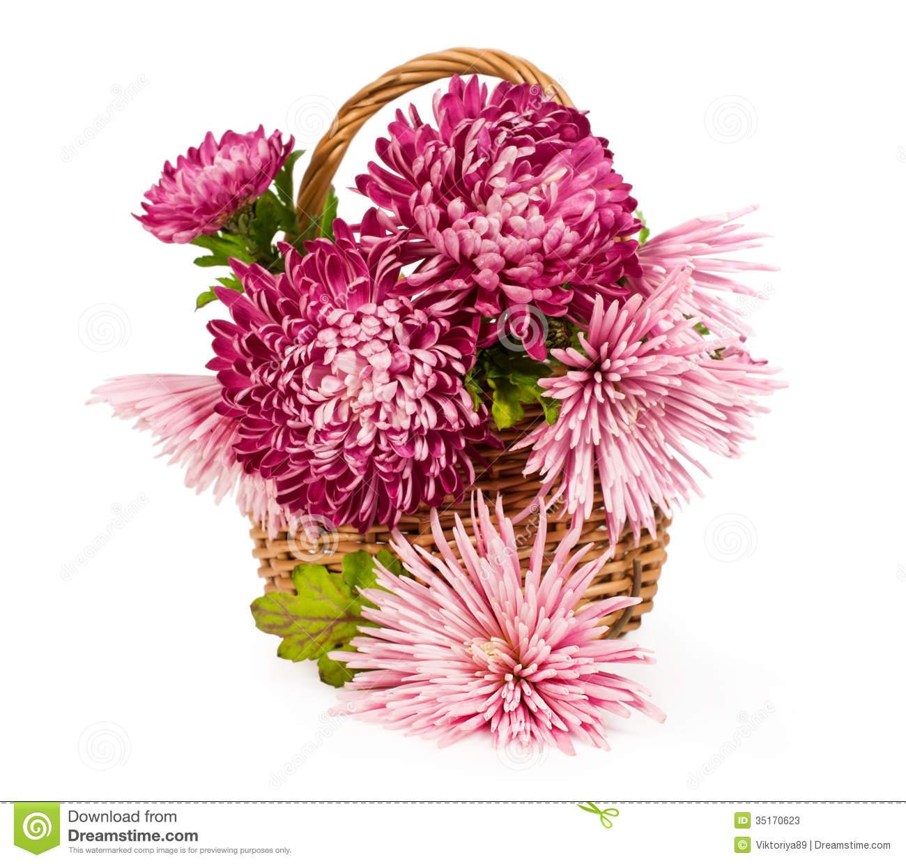 Bouquet Of Pink Chrysanthemums Stock Photos.
