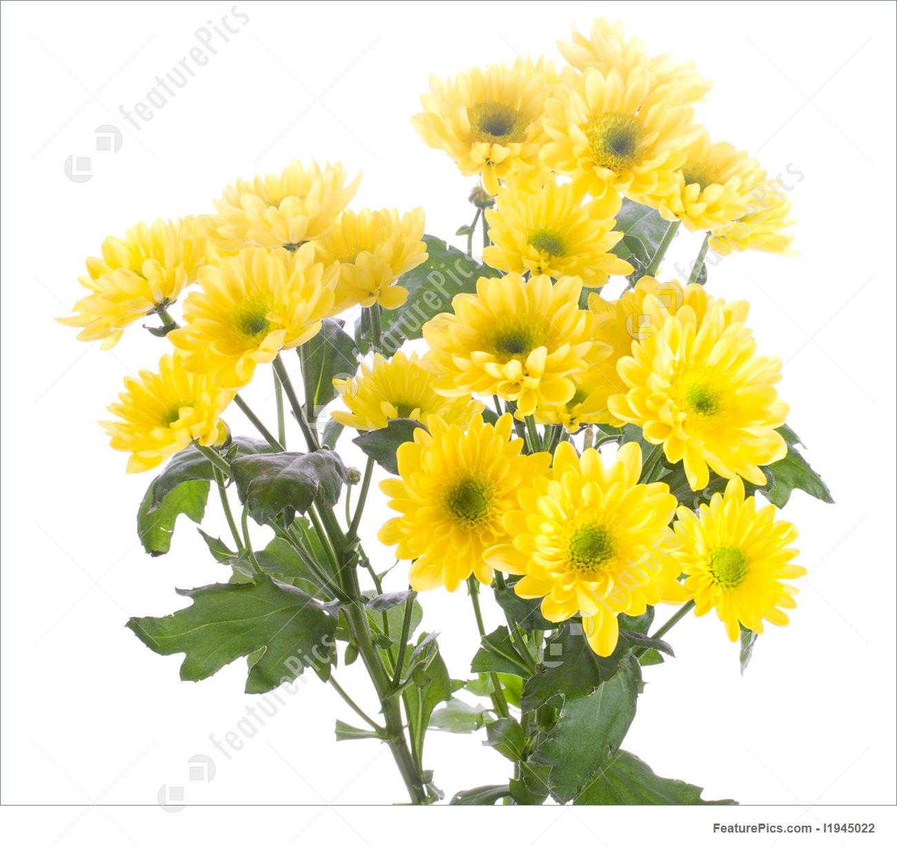 Yellow Chrysanthemum Bouquet Picture.