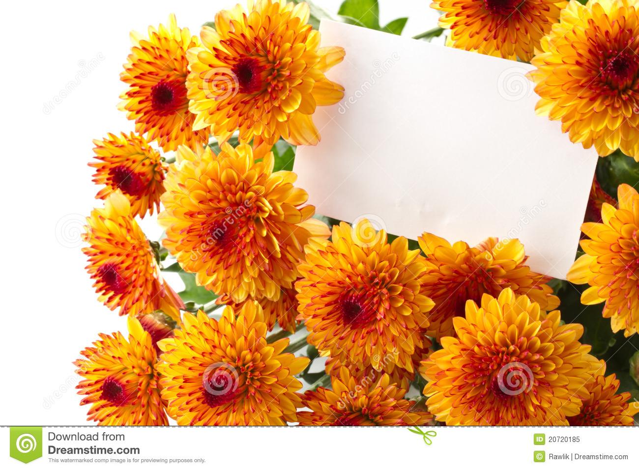 Chrysanthemums Royalty Free Stock Photo.