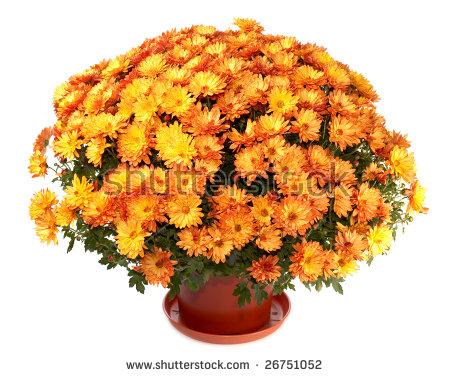 Mums Flowers Stock Photos, Royalty.