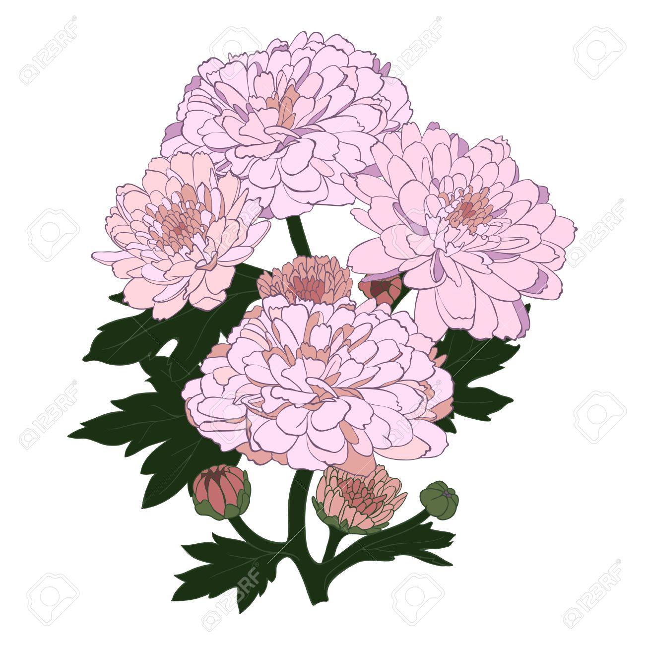 Chrysanthemum Flower In Vintage Engraving Style. Royalty Free.