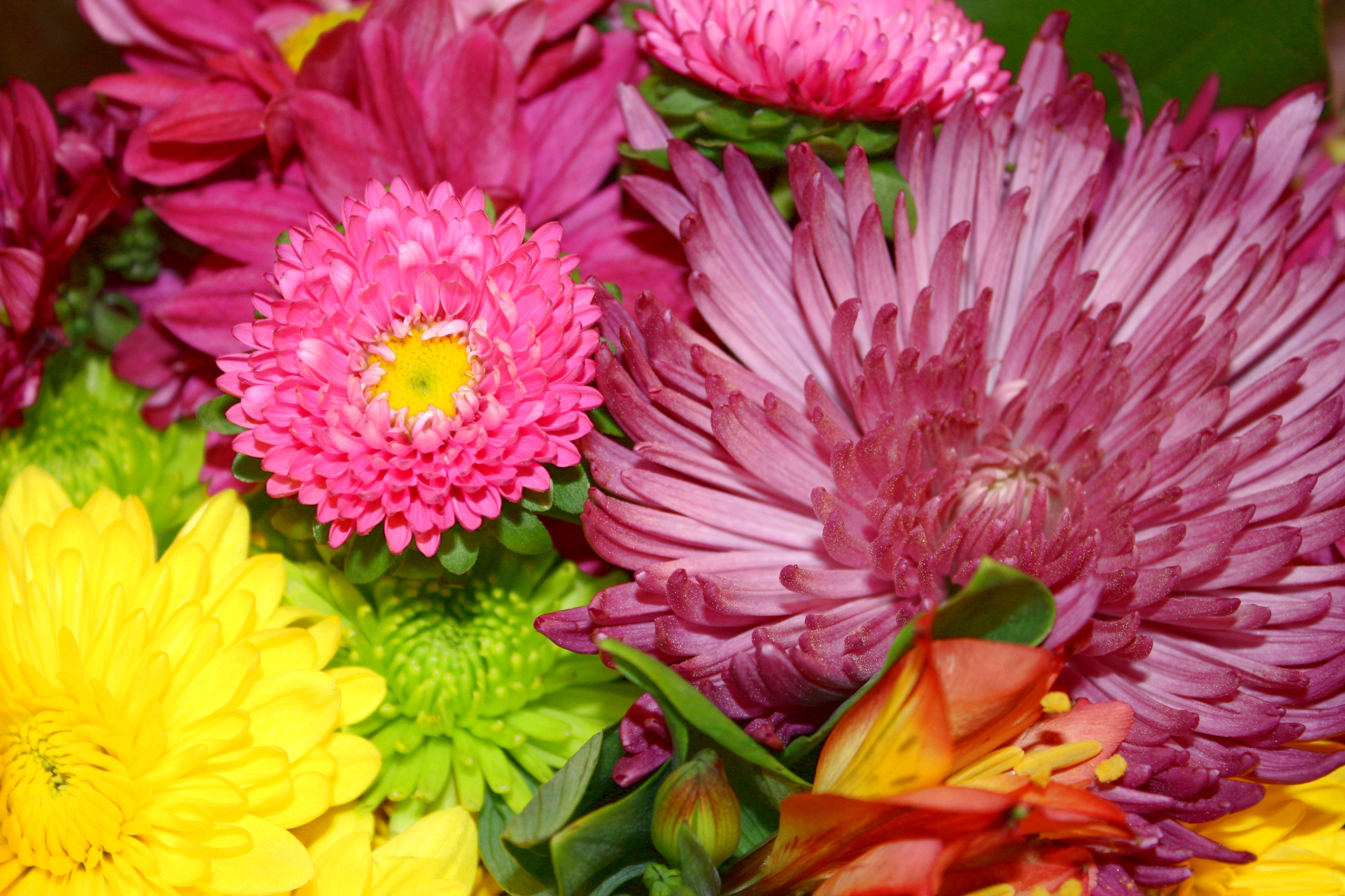 Chrysanthemums Pictures.