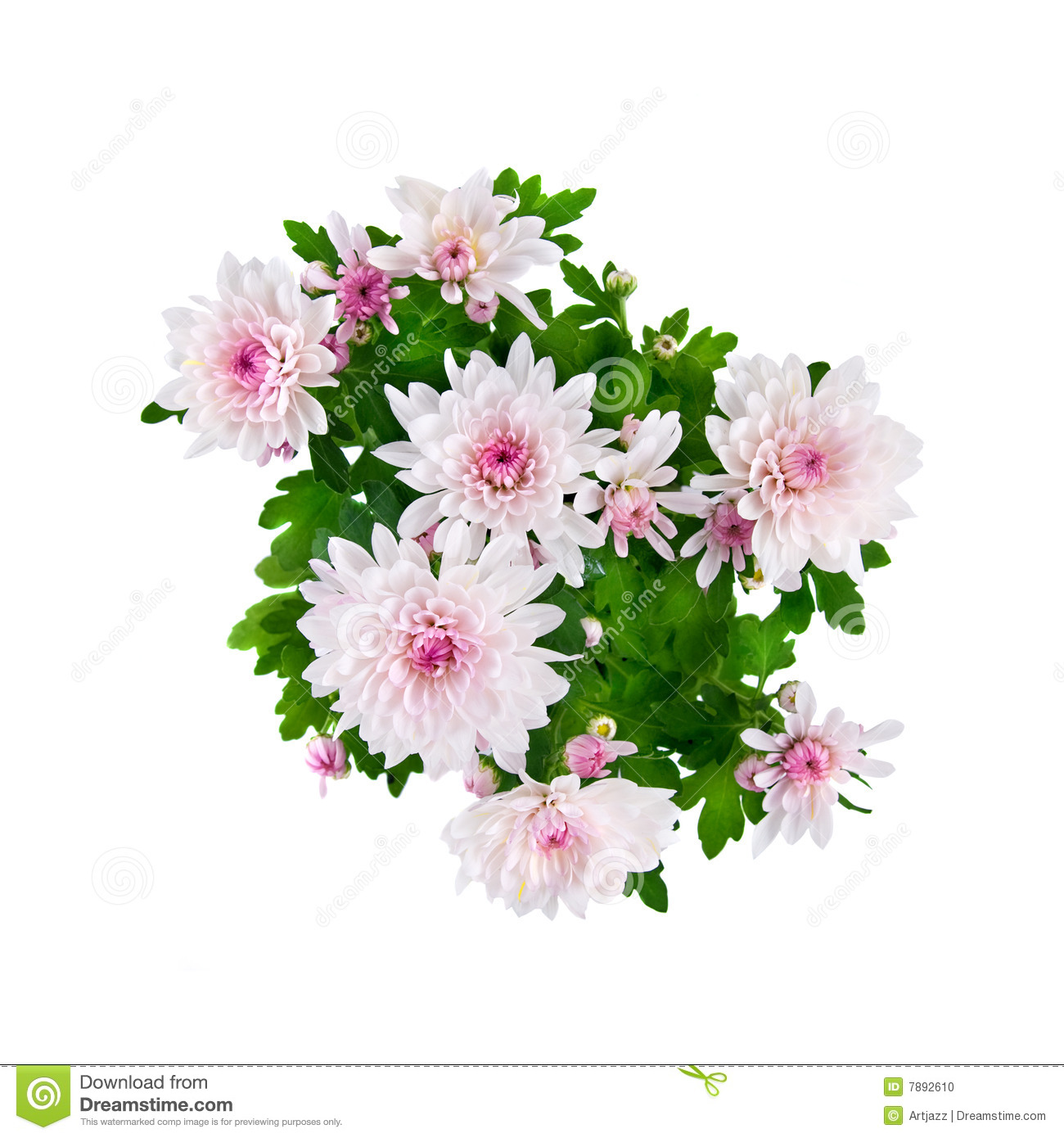 Pink Chrysanthemum Bouquet Isolated On White Stock Photo.