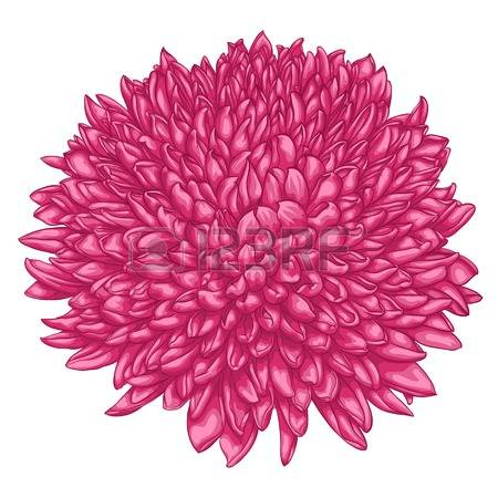 Pink Chrysanthemum Stock Vector Illustration And Royalty Free Pink.