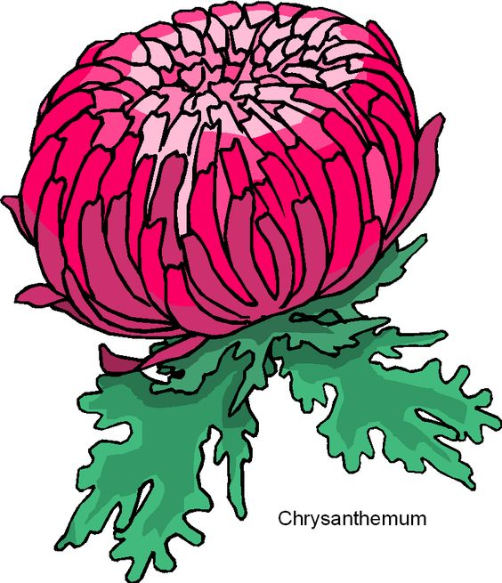crysanthemum drawing images.