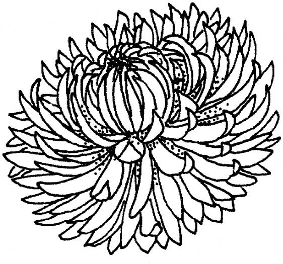 clip art chrysanthemum flowers.