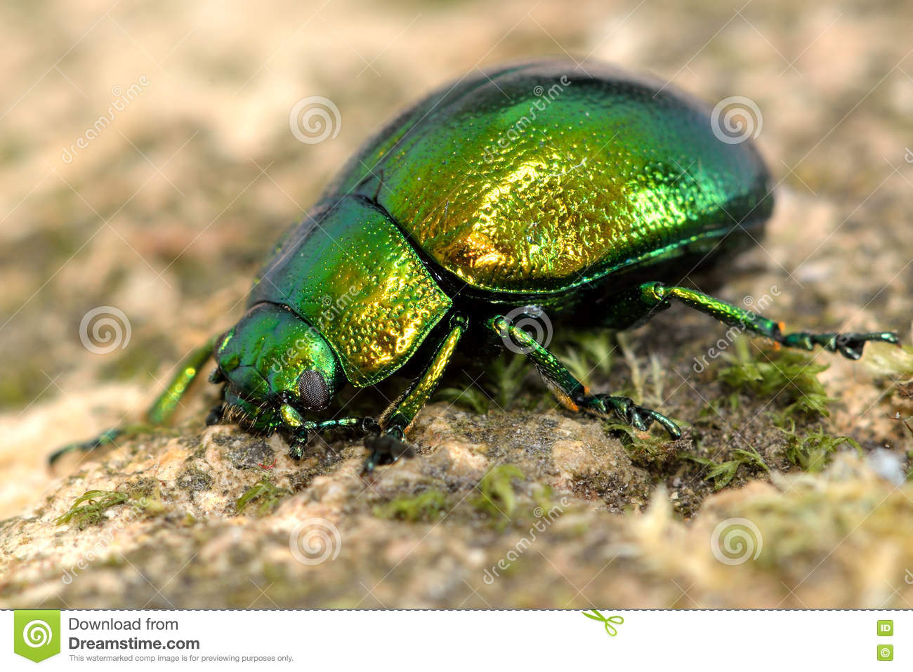 Mint Leaf Beetle (Chrysolina Herbacea) Stock Photo.