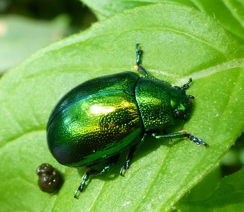 Mint Leaf Beetle.