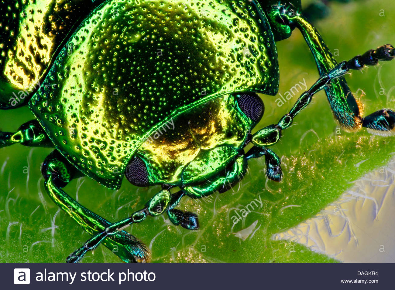 Mint Leaf Beetle (chrysolina Herbacea), Portrait, Germany Stock.