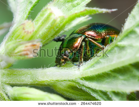 Chrysolina Herbacea Stock Photos, Royalty.