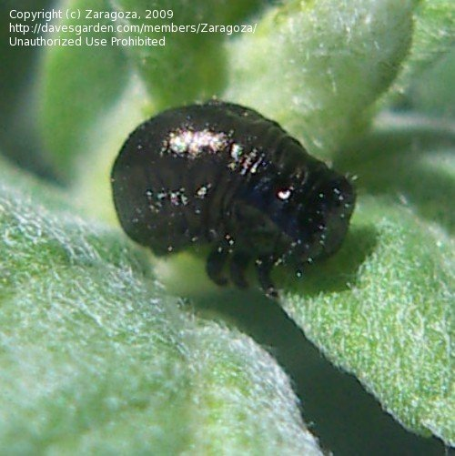Bug Pictures: Mint leaf beetle (Chrysolina herbacea) by Zaragoza.