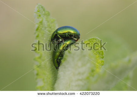 Chrysolina Stock Photos, Royalty.