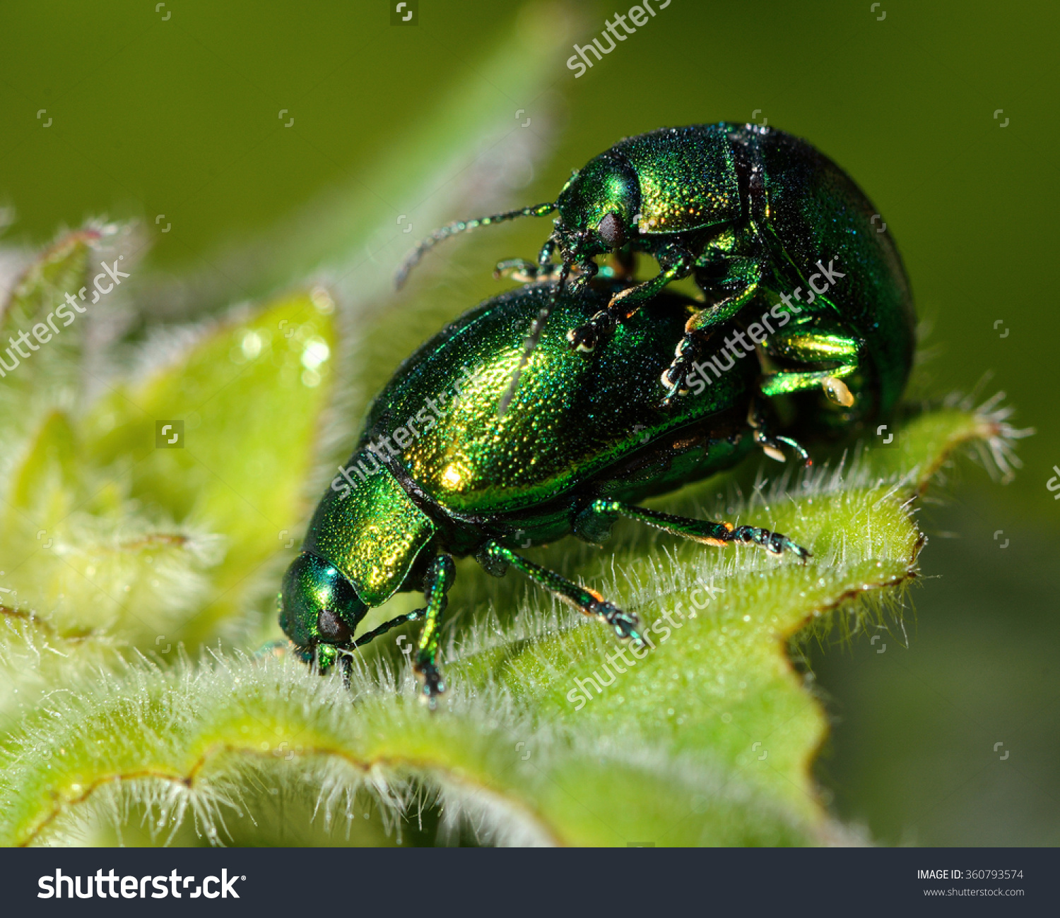 Mint Leaf Beetles Chrysolina Herbacea Mating Stock Photo 360793574.