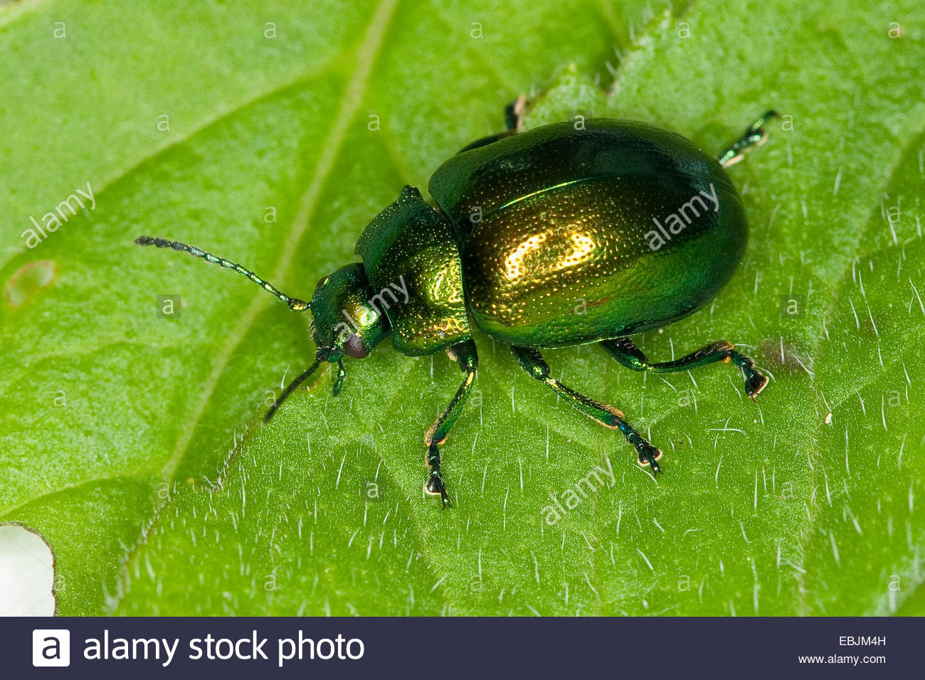 Mint Leaf Beetle (chrysolina Herbacea, Chrysolina Menthastri Stock.