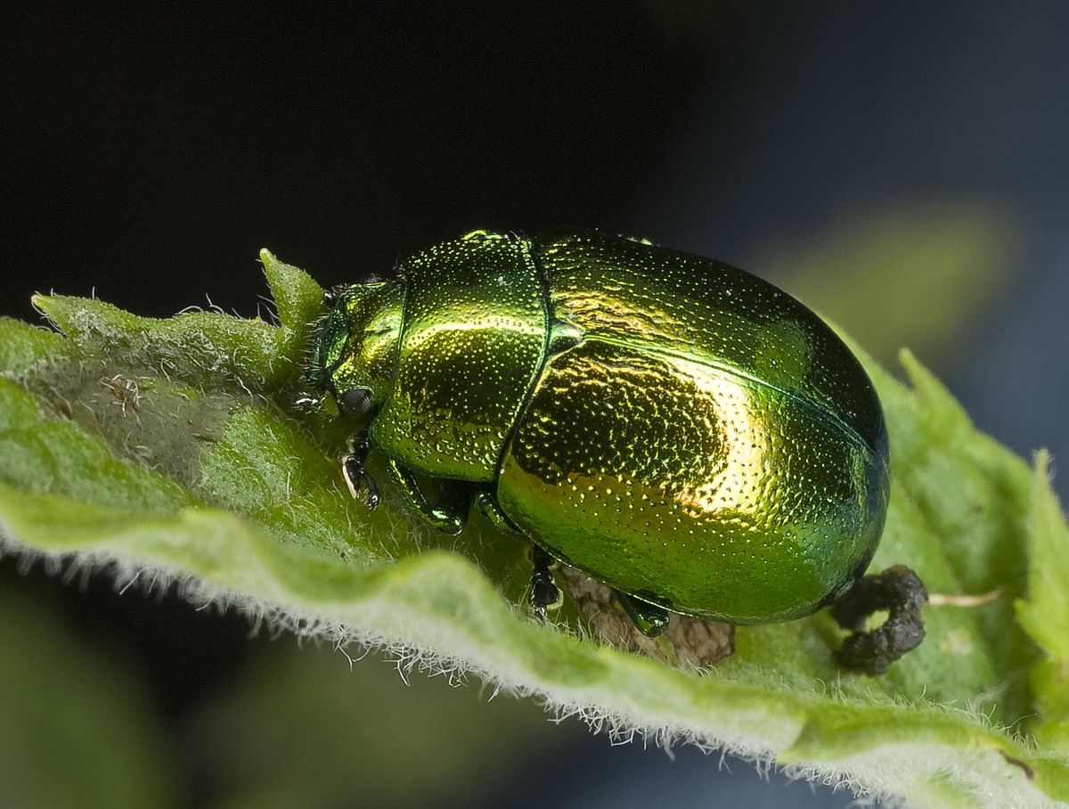 Chrysolina herbacea.