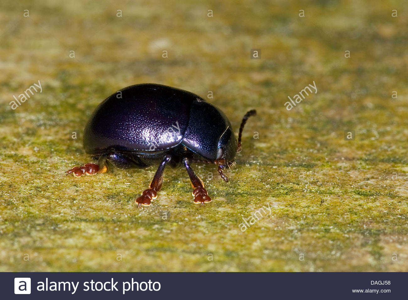 Chrysolina Leaf Beetle Stock Photos & Chrysolina Leaf Beetle Stock.