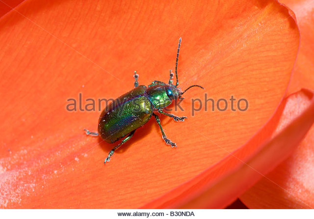 Beetle Insect Germany Stock Photos & Beetle Insect Germany Stock.