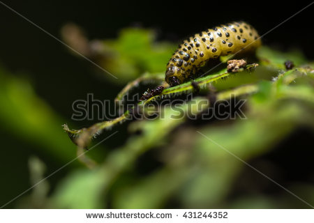Chrysomelidae Stock Photos, Royalty.