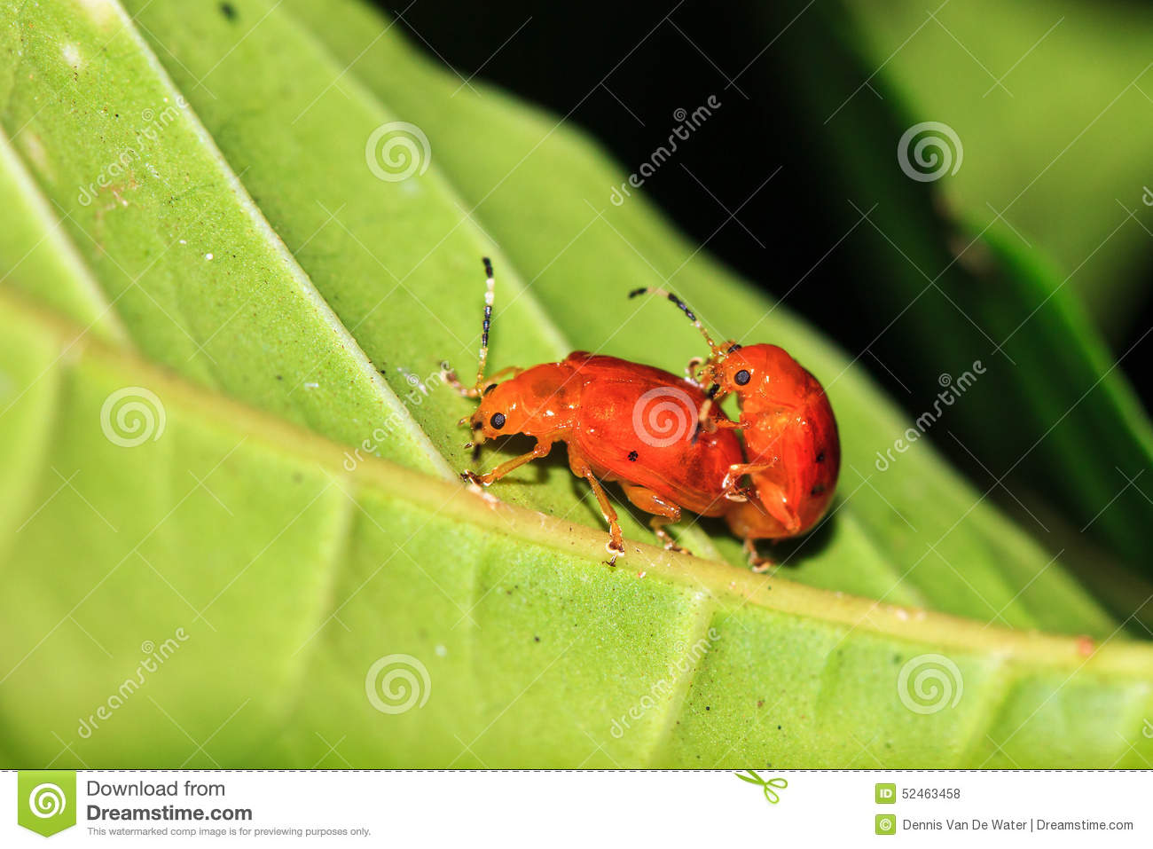 Chrysomelidae Stock Photos, Images, & Pictures.