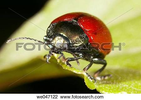 Stock Photo of Beetle (fam. Chrysomelidae) we047122.