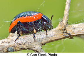 Chrysomelidae Images and Stock Photos. 186 Chrysomelidae.