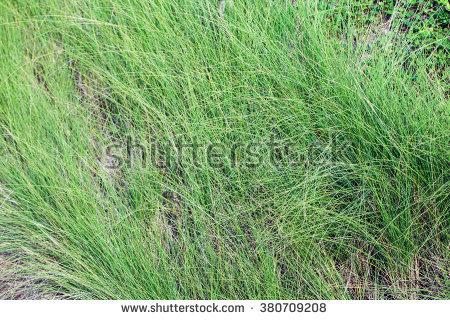 Chrysopogon zizanioides clipart #10