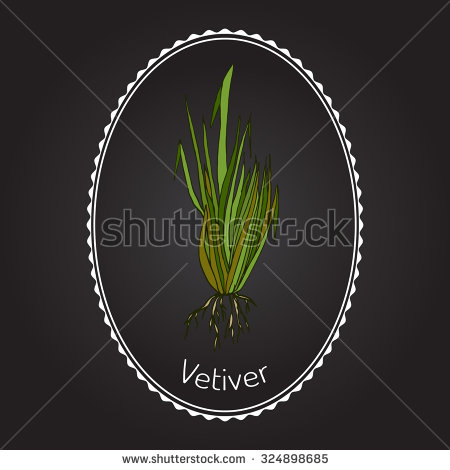 Vetiver Chrysopogon Zizanioides Aromatic Plant Vector Stock Vector.