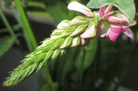 Free photo: Seed Sainfoin, Sainfoin, Blossom.