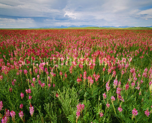 Field of sainfoin (Onobrychis sp.).
