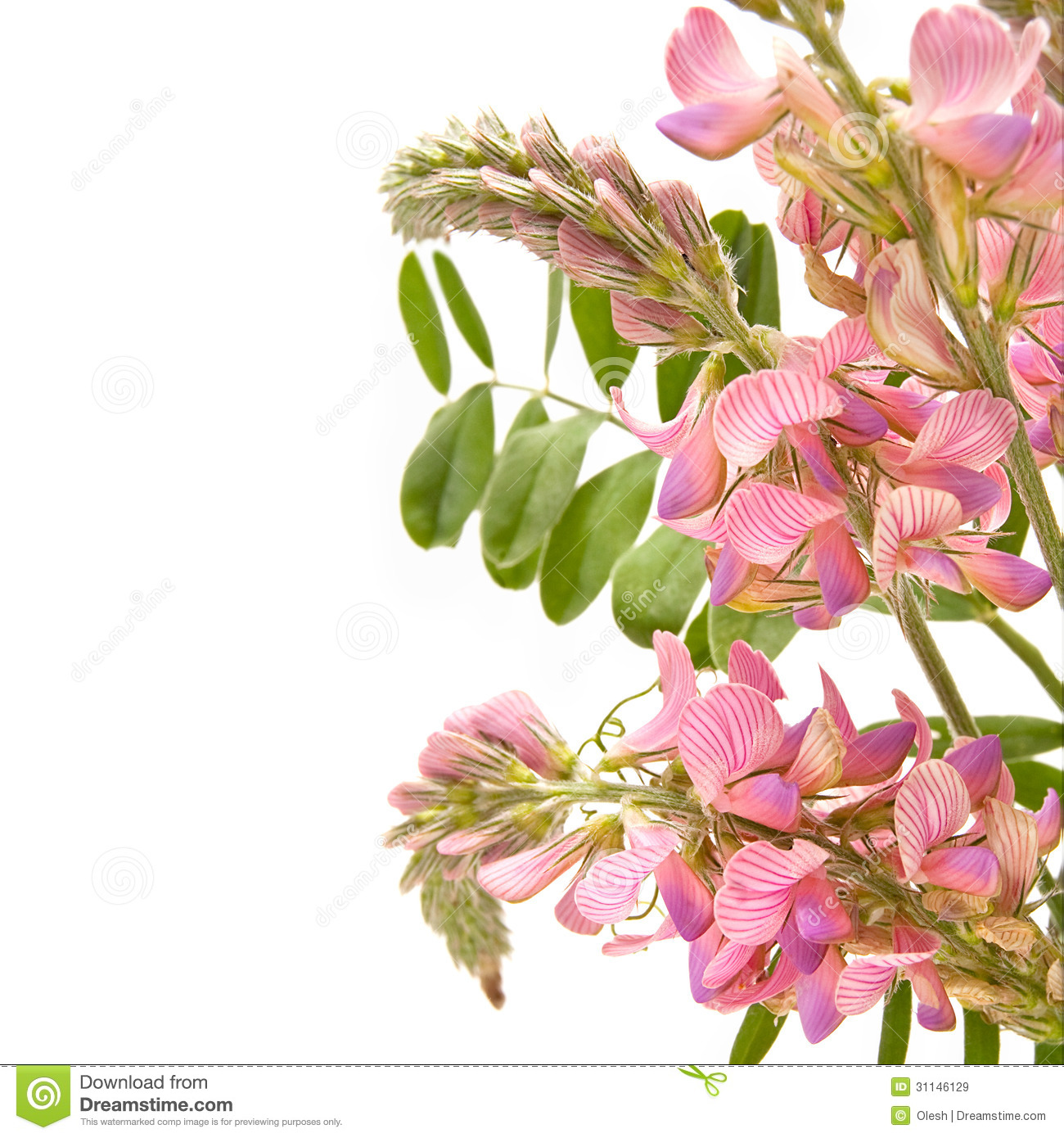 Sainfoin Flowers Royalty Free Stock Images.