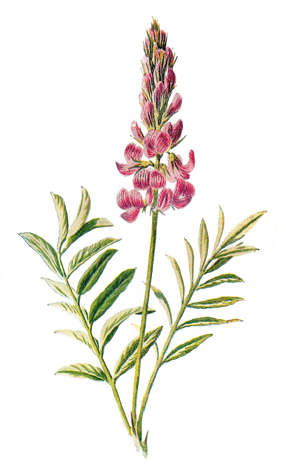 Antique Images: Digital Flower Illustration Vintage Wildflower.