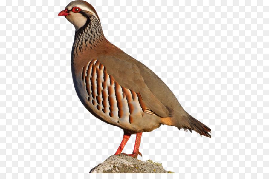 Dove Bird.