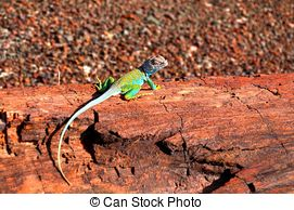 Picture of Collared Lizard.