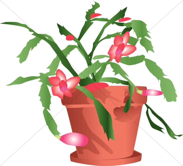 Potted Christmas Cactus.