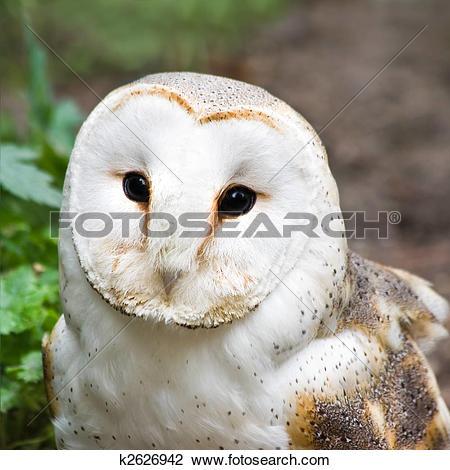 Stock Photo of Barn owl or Church owl.