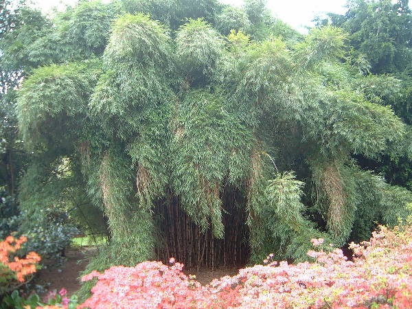 Chusquea Culeou Hardy Foxtail Bamboo Plant.