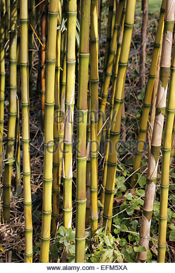 Detail Of Bamboo Stems Stock Photos & Detail Of Bamboo Stems Stock.
