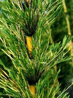 IŞIK GÜNER Botanical Art. CHUSQUEA CULEOU. Chile..