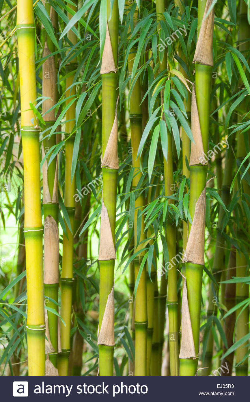 Chusquea Culeou 'tenuis' (bamboo Stock Photo, Royalty Free Image.