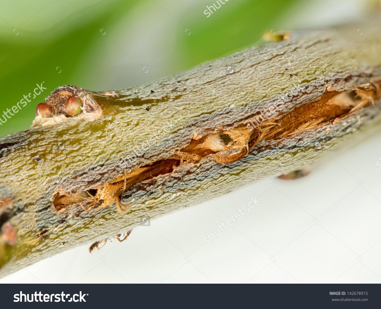 Cicada Damage On Tree Twig Cicadas Stock Photo 142678915.