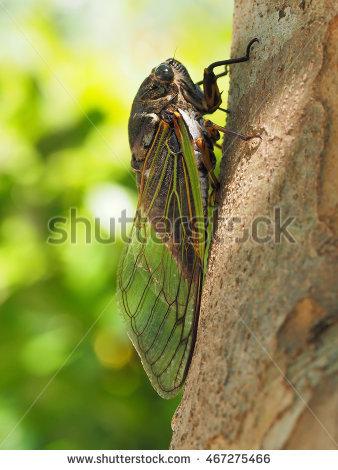 Cicada Bug Stock Photos, Royalty.