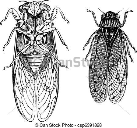 Vector of Cicada or Cicadidae or Tettigarctidae vintage engraving.