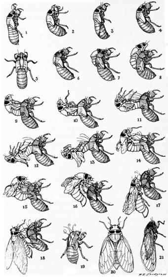 Periodical cicadas.