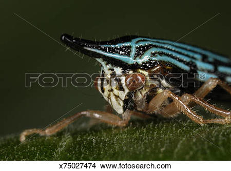 Stock Photo of Treehopper (family Cicadellidae) on leaf, Colombia.