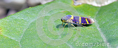 Green Leafhopper Royalty Free Stock Photos.