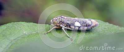 Leafhopper.