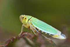 Green Leafhopper (Cicadella Viridis) Royalty Free Stock Photos.