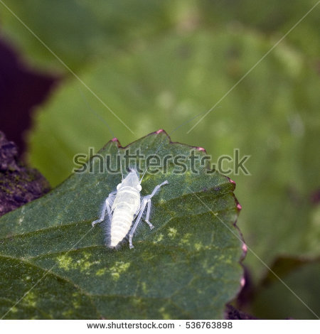 Cicadellidae Stock Photos, Royalty.